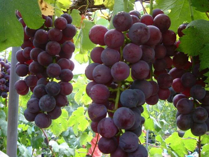 26 Manfaat dan Khasiat Buah Anggur Hijau untuk